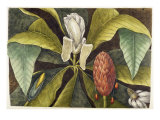 Magnolia Reproduction procédé giclée par Mark Catesby