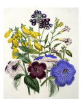 Mixed Calceolaria and Archimenus Giclee Print by Jane W. Loudon
