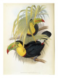 Short-Billed Toucan Reproduction procédé giclée par John Gould