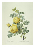 Rosa Sulfurea Giclee Print by Pierre-Joseph Redouté