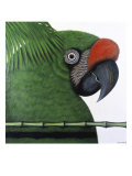 Amazonian Military Macaw Reproduction procédé giclée par Ivan Ball