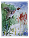 Pintail Duck Giclee Print by Sir Roy Calne