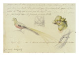 Bird Sketches from Journal Giclee Print by Johann Friedrich M. Waldeck