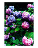 Hydrangea Blossoms Photographic Print by Nancy S. Mueller Shepherd