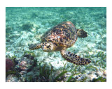 Sea Turtle Photographic Print by Shannon Maxwell