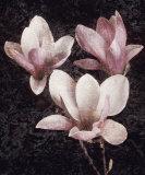 Pink Magnolias II Plakater af John Seba