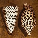 Cone Seashell Posters par Caroline Kelly