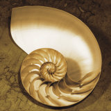 Chambered Nautilus Art by Caroline Kelly