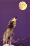 Gray Wolf Howling at Moon Poster