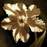 Parrot Tulip I Prints by Caroline Kelly