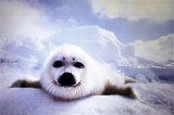Seal Pup Plakat