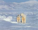 Polar Bears Prints