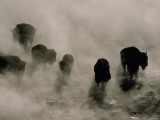 Silhouettes in the Mist, American Bison Search for Food, Midway Geyser Basin, Yellowstone, Wyoming Fotografisk tryk af Raymond Gehman