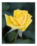 Yellow Rose II Photographic Print by Gary M. Curtis