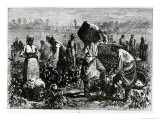 Slaves Picking Cotton on a Plantation Giclee Print by William Ludlow Sheppard