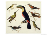 "Native Birds, Including the Toucan (Centre), Amazon, Brazil, from ""Le Costume Ancien Et Moderne"" Giclee Print by Friedrich Alexander Humboldt"