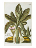 Banana, from J. Weinmann's Phytanthoza Iconographia, 1734-45 Giclee Print by Georg Dionysius Ehret