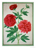 Peonies, Plate 46 from the Nassau Florilegium, Giclee Print