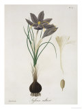 "Saffron Crocus from ""Phytographie Medicale"" by Joseph Roques, Published in 1821 Giclee Print by L.f.j. Hoquart"