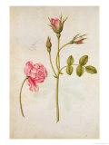 Pink Rose, circa 1568 Giclee Print by Jacques Le Moyne