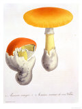 "Amanita Caesaria from ""Phytographie Medicale"" by Joseph Roques, Published in 1821 Giclee Print by L.f.j. Hoquart"