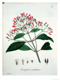 "Cinchona from ""Phytographie Medicale"" by Joseph Roques, Published in 1821 Giclee Print by L.f.j. Hoquart"