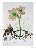 "Helleborus Niger from ""Phytographie Medicale"" by Joseph Roques, Published in 1821 Giclee Print by L.f.j. Hoquart"