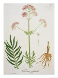 "Valerian from ""Phytographie Medicale"" by Joseph Roques, Published in 1821 Giclee Print by L.f.j. Hoquart"