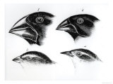 Four Finches from the Galapagos Archipelago Giclee Print