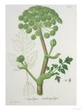 "Angelica Archangelica from ""Phytographie Medicale"" by Joseph Roques, Published in 1821 Giclee Print by L.f.j. Hoquart"