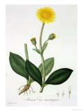 "Arnica Montana from ""Phytographie Medicale"" by Joseph Roques, Published in 1821 Giclee Print by L.f.j. Hoquart"