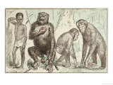 "Evolution of Man from Mammals, from ""La Creation Naturelle Et Les Etres Vivants"" Reproduction procédé giclée par A. Demarle"