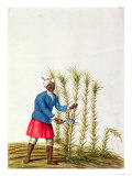 Slave Cutting Sugar Cane, from The Illes de L'Amerique in The Antilles, End of The 17th Century Lámina giclée