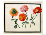 Chrysanthemums Giclee Print by Claude Aubriet