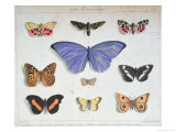 French and Foreign Butterflies Giclee Print by Madame Feraud