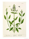 Salviam from &quot;A Curious Herbal,&quot; 1782 Giclee Print by Elizabeth Blackwell