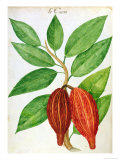 Cacao, from a Manuscript on Plants and Civilization in the Antilles, circa 1686 Giclee Print by Charles Plumier