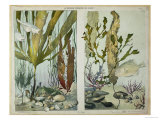 """Seaweed, Fishes, Sea Horse, Crab and Shellfish, Illustrated Plates from """"La Vie Sous Marine"""" Premium Giclee Print by Emile Belet"""