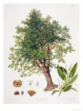 Sweet Chestnut Giclee Print by Johann Kautsky