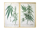 Cannabis Mas and Cannabis Foemina, from 'Herbarium Blackwellianum', 1757 Giclee Print by Elizabeth Blackwell