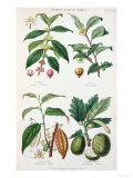 Coffee Tea Chocolate and Breadfruit Plate from a Botanical Study Giclee Print by W. Fitch