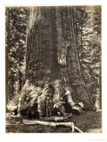 Base of the Grizzly Giant Giclee Print by Carleton Emmons Watkins
