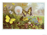Butterflies, Illustration from an Hungarian Natural History Book, circa 1900 Giclee Print by Alfred Brehm