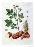 """Potato, Botanical Plate from """"La Botanique Mise a La Portee De Tout Le Monde"""" Giclee Print by Genevieve Regnault De Nangis"""