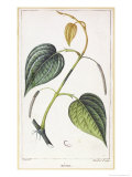 Betel, Botanical Plate, circa 1810 Giclee Print by Pierre Jean Francois Turpin