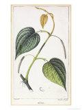 Betel, Botanical Plate, circa 1810 Premium Giclee Print by Pierre Jean Francois Turpin