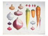 "Onions, Radishes and Carrots, from the First ""Album Vilmorin,"" 1850 Giclee Print by Elisa Champin"