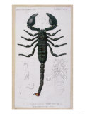 African Scorpion Giclee Print by Francois Le Vaillant