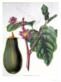 "Aubergine, Botanical Plate from ""Flore Des Jardins Du Royame Des Pays-Bas"" by A. W. Sythoff, 1860 Giclee Print"