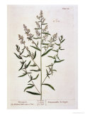 "Tarragon, Plate 116 from ""A Curious Herbal,"" Published 1782 Giclee Print by Elizabeth Blackwell"